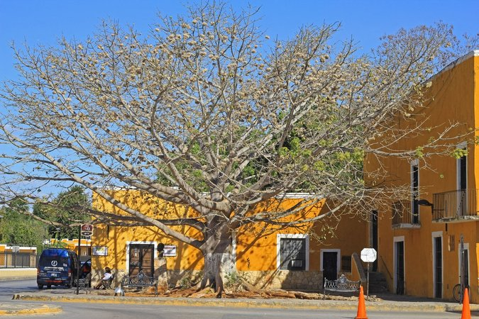 Tree in the center of the Yellow City in Izamal Yucatan Mexico, guide and tips for vising and exploring the town